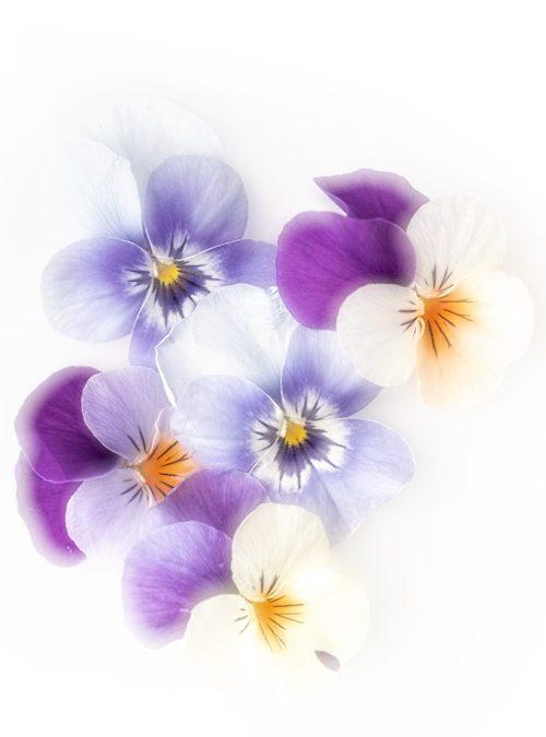 bos-viooltjes-bloemen-macrofotografie