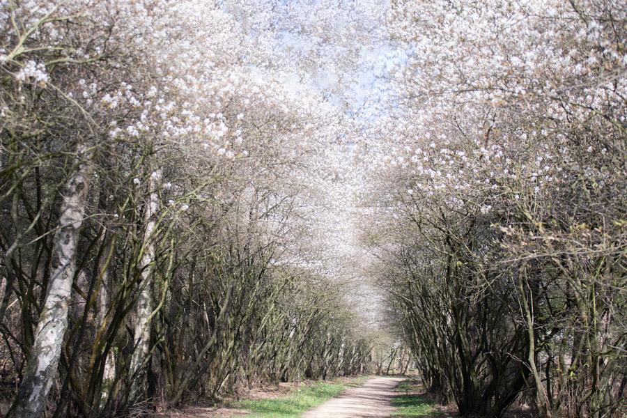 kampina-natuurgebied-krentenboom