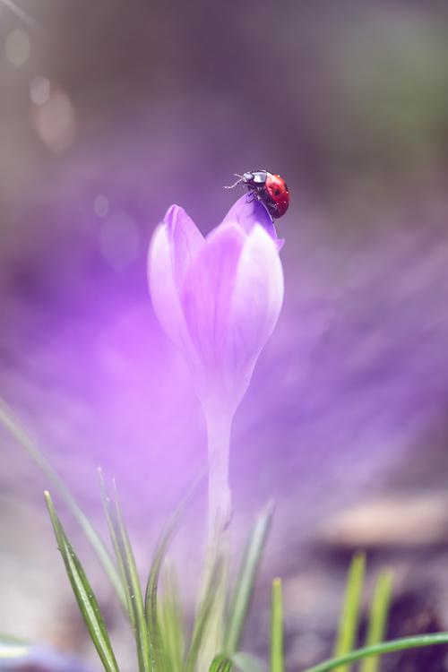 lievheersbeestje-crocus-natuur