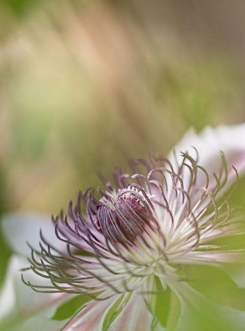 Clematis-macrofotografie-bloemen