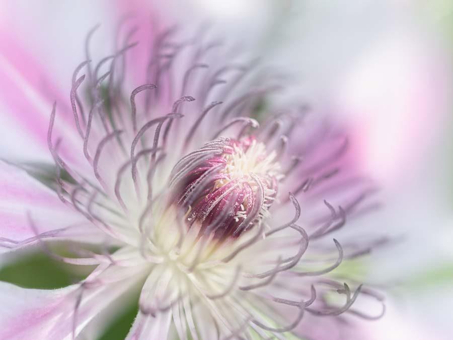 clematis-pastel-macro-bloem
