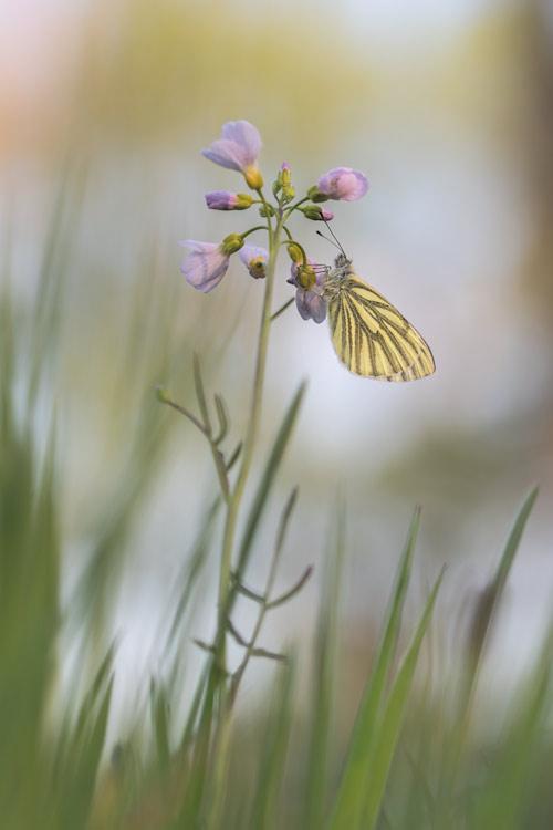 klein-geaderd-witje-pinksterbloem