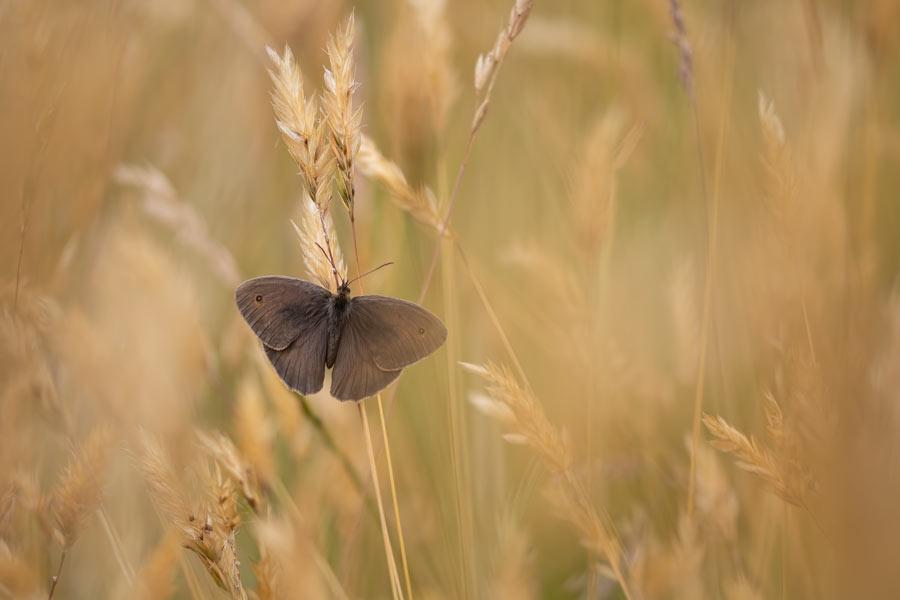 bruin-zandoogje-dagvlinder-vlinder