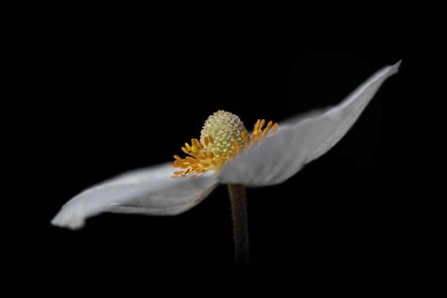 anemoon-bloem-macro