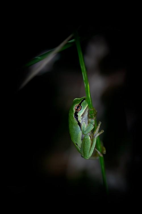 boomkikker-amfibie-treefrog-nature