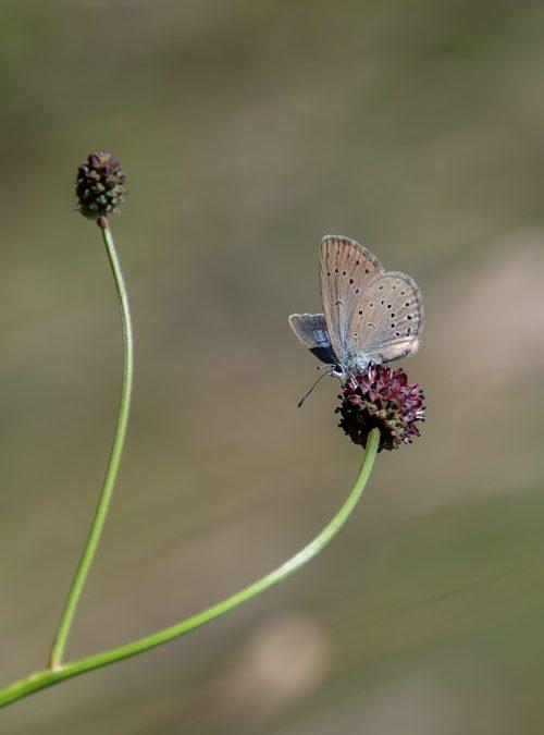 pimpernelblauwtje-blauwtje-zeldzaam-vlinder