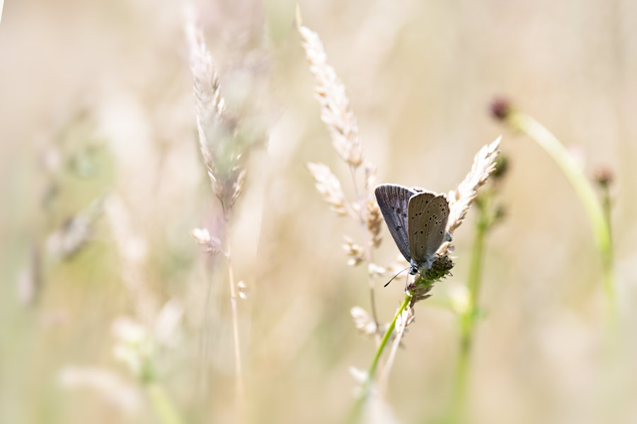 pimpernelblauwtje-zeldzaam-vlinder