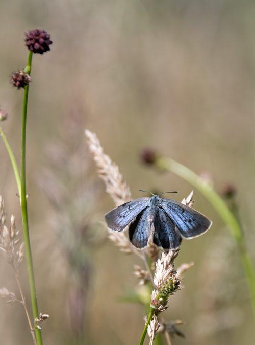 pimpernelblauwtje-pimpernel-blauwtje